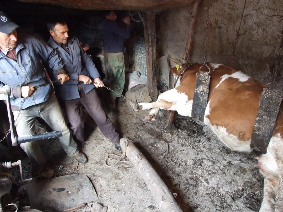 Photo of I krave mogu da imaju ravne tabane