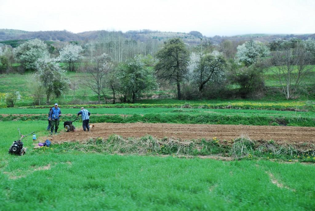livade preoravaju u njive i sade organski krompir