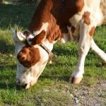 Za osemenjivanje krava skoro tri miliona dinara