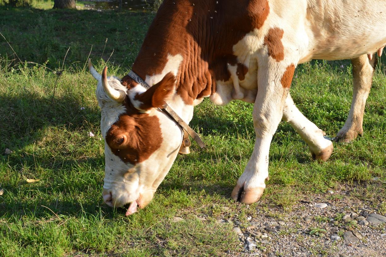 Krava 2