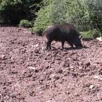 Proglašena delimična pidemija afričke kuge kod divljih svinja: Vanredna sednica Okružnog štaba za vanredne situacije