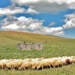Ponuda pirotske jagnjetine uoči predstojećih praznika