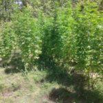 Viši sud u Pirotu:Tri godine zatvora zbog marihuane