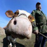Grad Pirot subvencionirao kupovinu 600 priplodnih junica