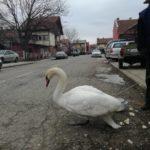 Spasili divljeg labuda