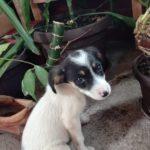 Humana Piroćanka spasila štene, potreban udomitelj