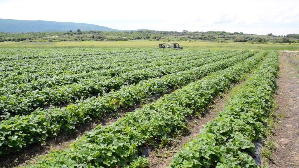 plantaža jagode pirot