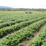 Potreban veći broj radnika za branje jagoda na plantaži kod Pirota