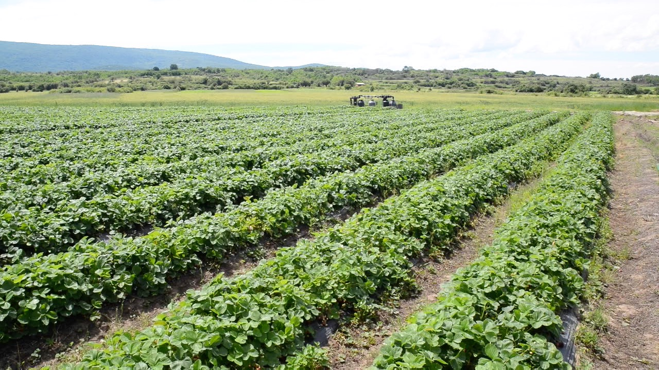Photo of Potreban veći broj radnika za branje jagoda na plantaži kod Pirota