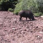 Nesvakidašnja lovačka priča: Lovcima ukrali odstreljenu divlju svinju u Babušnici!