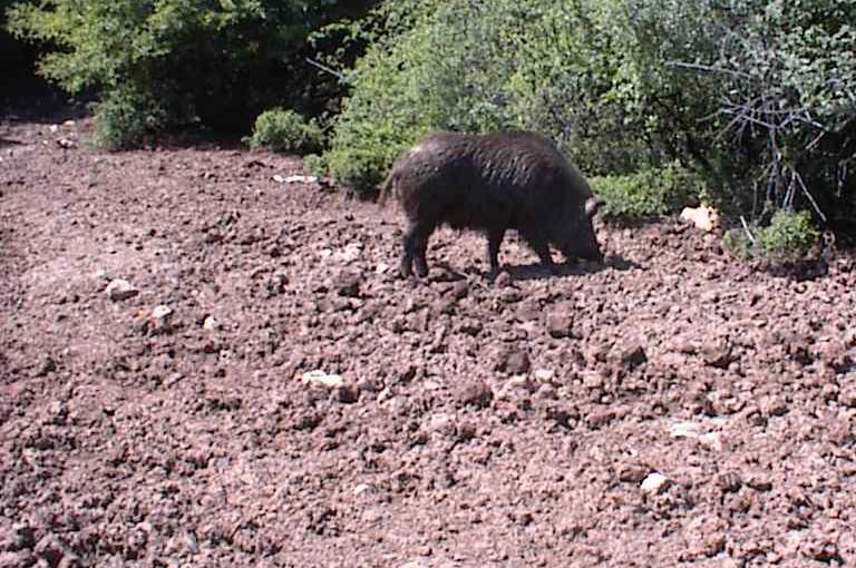 """Photo of Afrička kuga svinja sada """"preti"""" Beloj Palanci, pojavila se u selu Vrandol"""