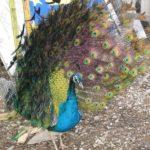 Belo polje:Napušteni kerovi kolju egzotične ptice!