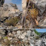 Otkrivena nova vrsta biljke za Srbiju - patuljasta efedra na obroncima Stare planine