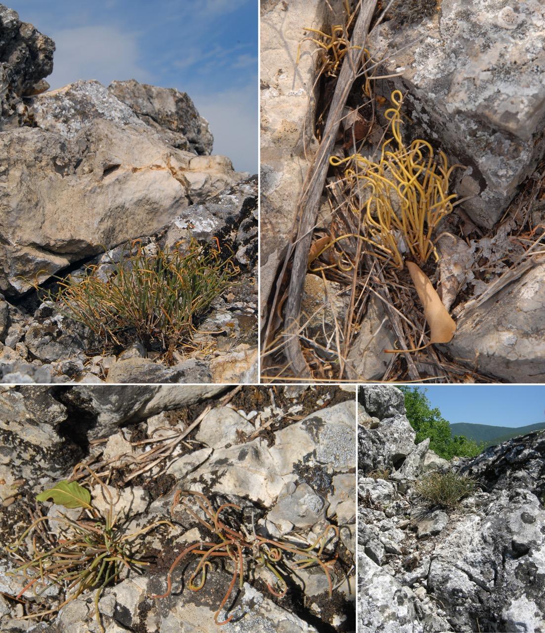 Photo of Otkrivena nova vrsta biljke za Srbiju – patuljasta efedra na obroncima Stare planine
