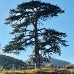 Stablo crnog bora kod Rsovaca - prava turistička atrakcija Stare planine