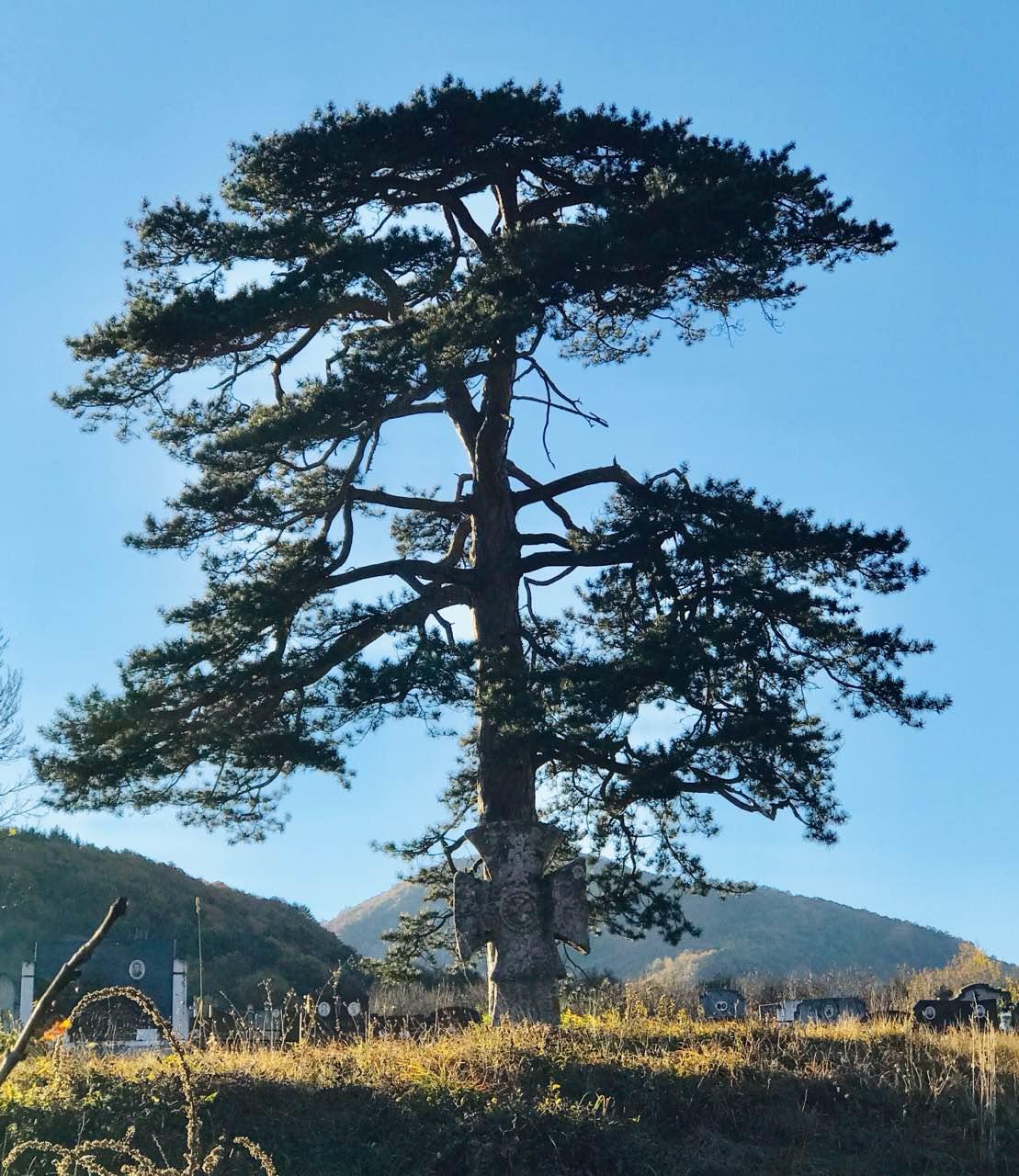 Photo of Stablo crnog bora kod Rsovaca – prava turistička atrakcija Stare planine