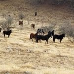 Poslednje krdo divljih konja na Suvoj planini