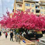 """Japanska jabuka u Pirotu postala prava atrakcija za ljubitelje """"selfija"""""""