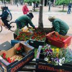 Komunalac: Više od 50.000 sadnica cveća za lepši grad