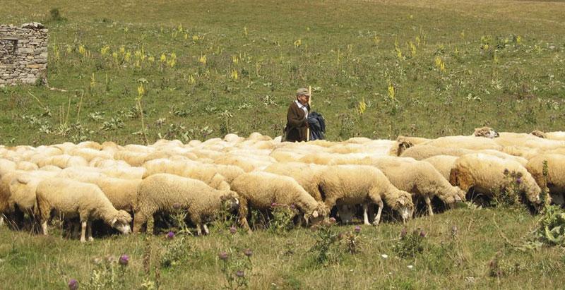 foto Aleksandar Ćirić/Ovce na Vrtibogu