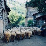 Dojkinci: Skupljanje ovaca u bačiju, kao vekovima unazad
