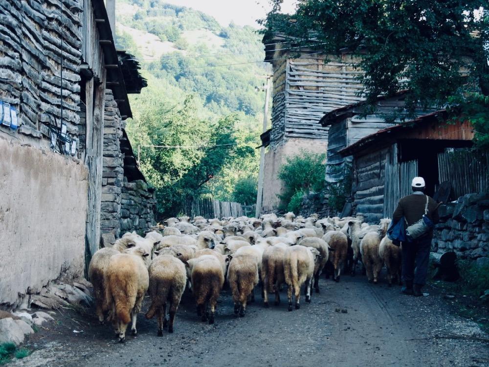 Photo of Dojkinci: Skupljanje ovaca u bačiju, kao vekovima unazad