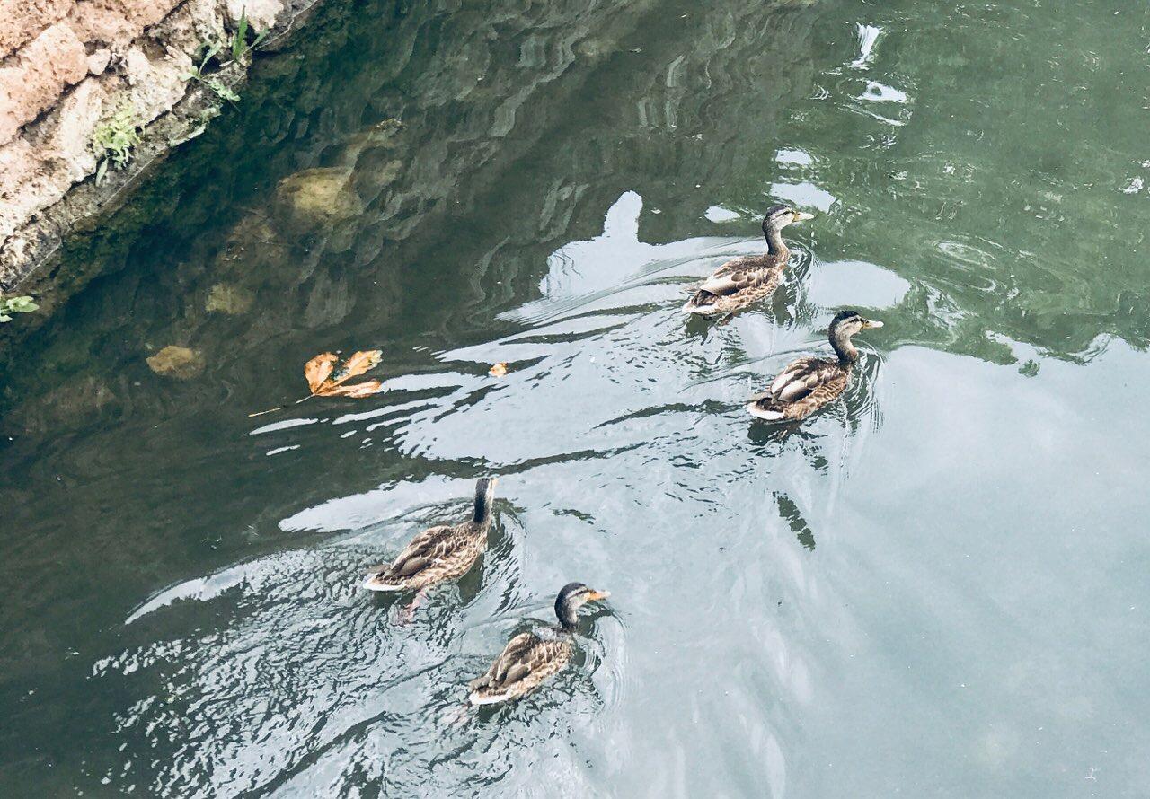 Photo of Divlje plovke u kanalu oko srednjovekovne tvrdjave