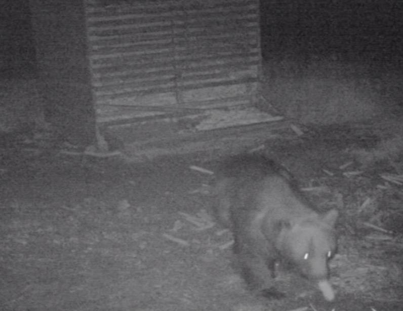 Photo of Medvedi se vraćaju na Staru planinu, juna meseca snimljen i drugi primerak mrkog medveda