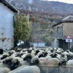Jedno od poslednjih velikih stada ovaca na Staroj planini (VIDEO)