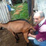 Porodica Pavlović iz Pirota,  pravi prvoklasni kozji sir