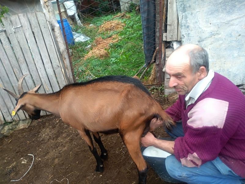 Photo of Porodica Pavlović iz Pirota,  pravi prvoklasni kozji sir