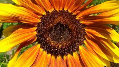 Photo of Ukrasni suncokret: Zaboravljena biljka čarobne lepote!