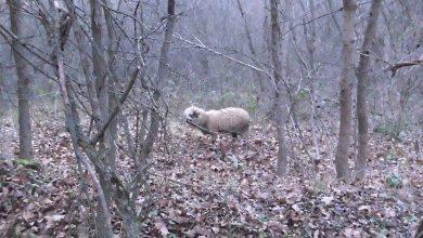 Photo of Nišlija na Suvoj planini pronašao izgubljeno jagnje u šumi. Nosio ga više od dva kilometra do prvog sela kako bi ga vratio vlasnicima