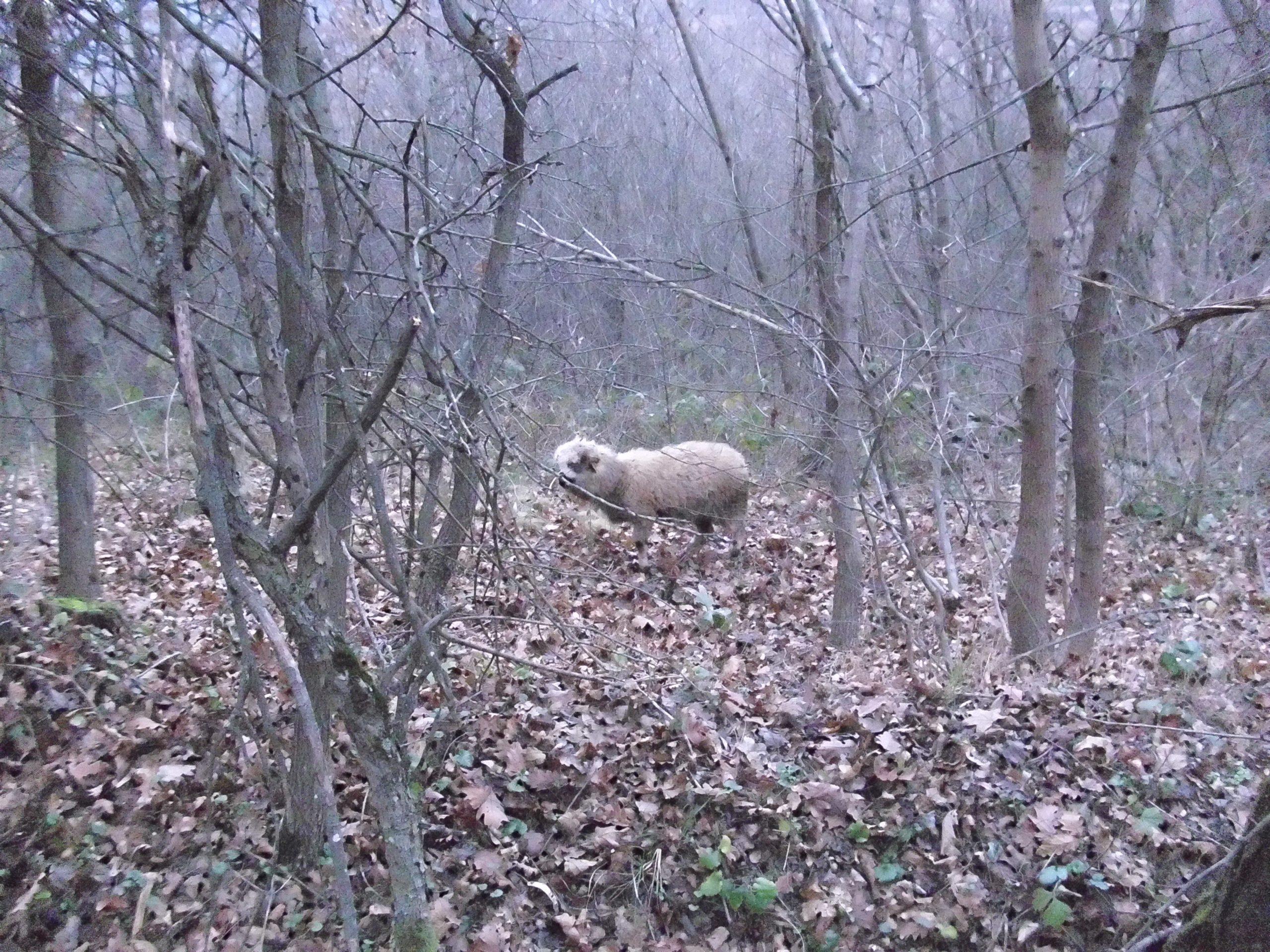 izgubljeno jagnje suva planina