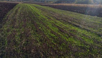 Photo of Pšenica u odličnom stanju, voda se povlači sa poplavljenih parcela