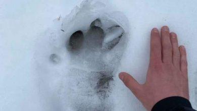 Photo of OPREZ: Tragovi medveda u Arbinju na Staroj planini