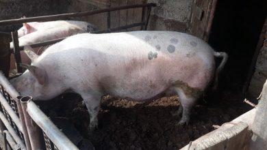 Photo of Veterinari obišli 711 domaćinstava, nije zabeležen novi slučaj zaraze afričkom kugom svinja