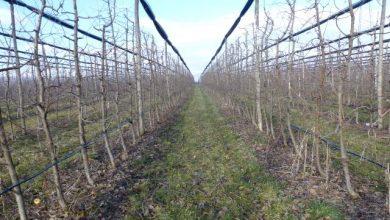 Photo of Iskoristiti povoljne vremenske prilike za hemijsku zaštitu jabučastog i koštičavog voća