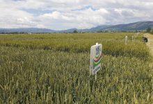 "Photo of ""Dan polja strnih žita""- stanje žitarica obećava dobre prinose"