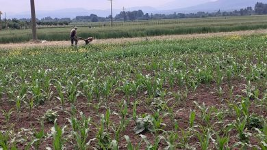 Photo of Ozima strna žita i kukuruz uspešno odolevaju visokim temperaturama