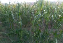 Photo of Temštani ove godine neće brati kukuruz!