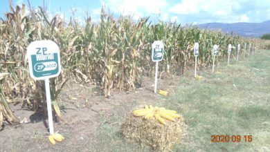Photo of Održana tradicionalna manifestacija Dan polja kukuruza
